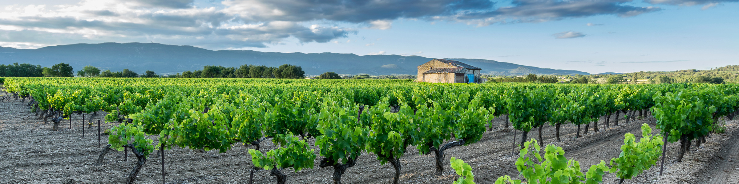 Vineyard in the Luberon Provence
